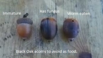 Bad acorns in food selection